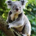 Koala2K18